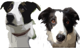 Itch et dawai - border collie